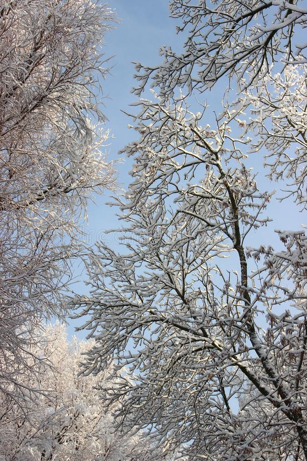 Trees with snow caps. Winter patterns. Frozen air. Blue sky under trees. Branches with snow. hoarfrost on the trees. Trees with snow caps. Winter patterns royalty free stock image