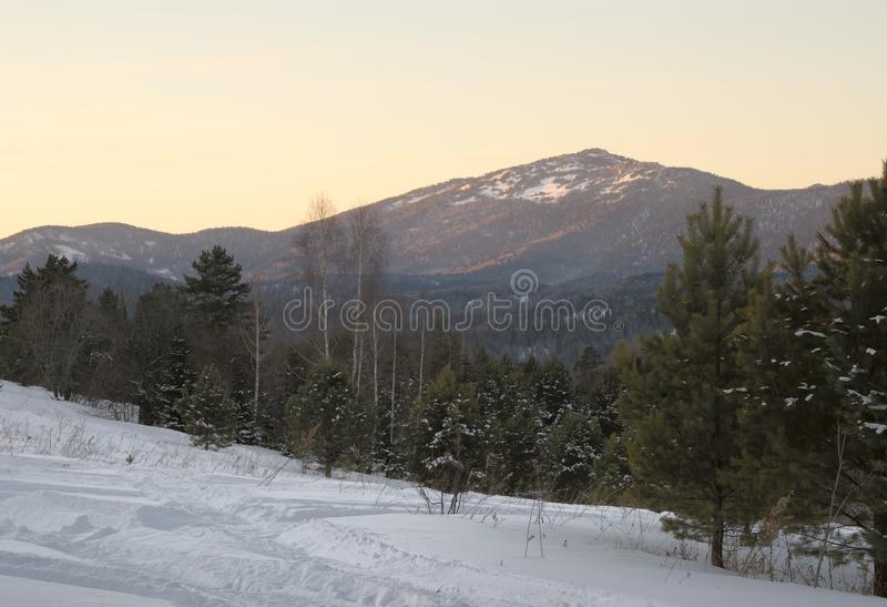 Trees and snow in the foothills of the Altai royalty free stock image