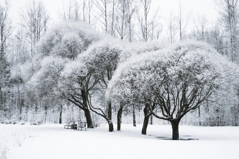 Trees in the snow in the park. Winter landscape, royalty free stock photography