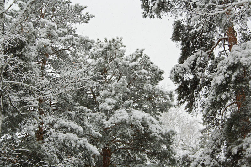 Trees in the snow. stock photo