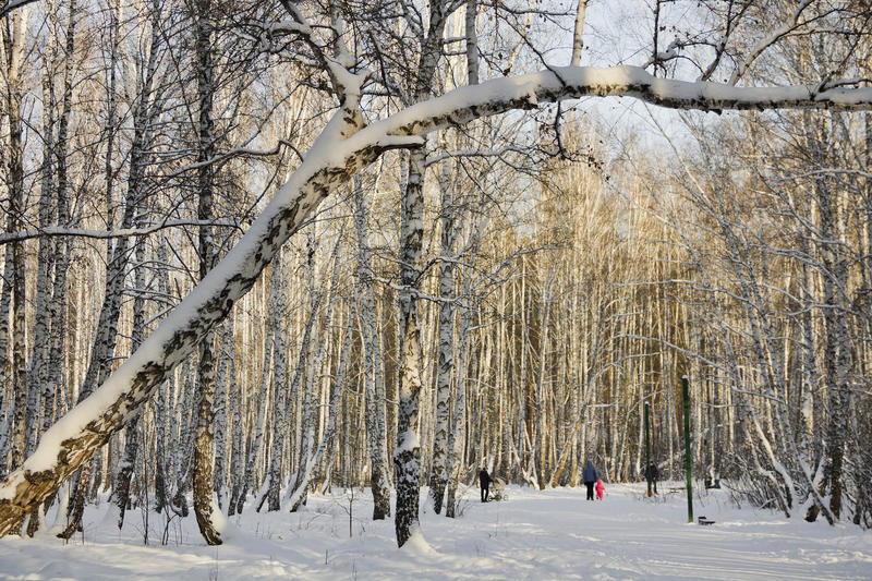 Trees in snow at winter Park.Russia.  royalty free stock photography