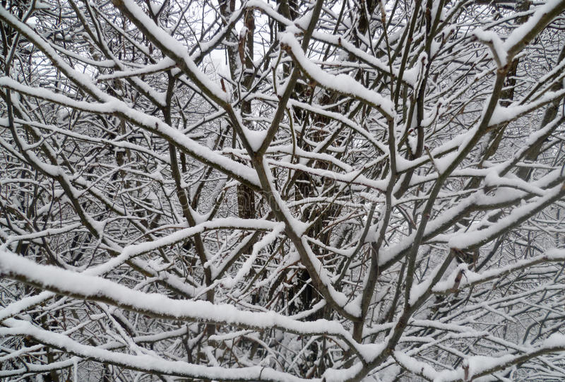 Trees With Snow Royalty Free Stock Images