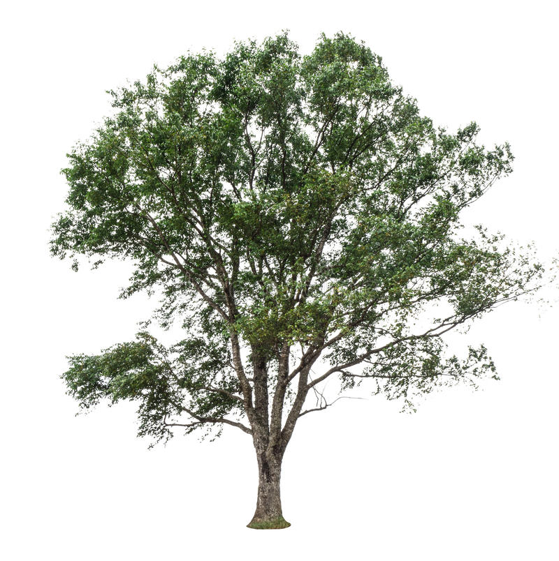 Trees som isoleras på vitbakgrund arkivbild