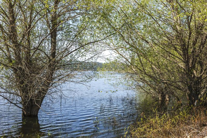 Trees in spring flooding at Hauser Lake. stock photo