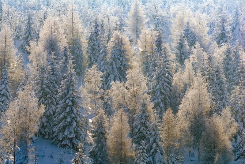 Trees spruce pine evergreen covered snow frost winter blue sky wood forest stock photography