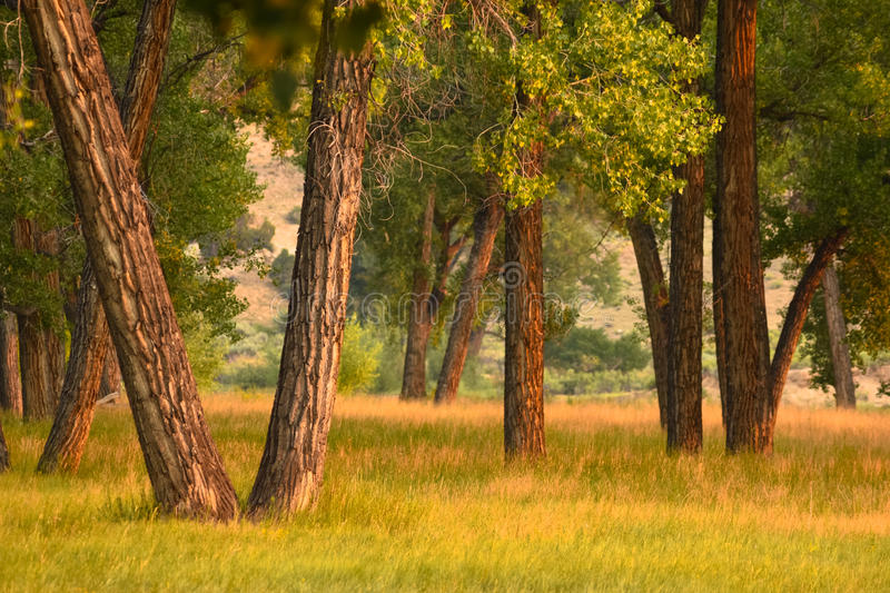 Trees On Summer Morning. In Sunny Yellow Meadow With Grass royalty free stock images