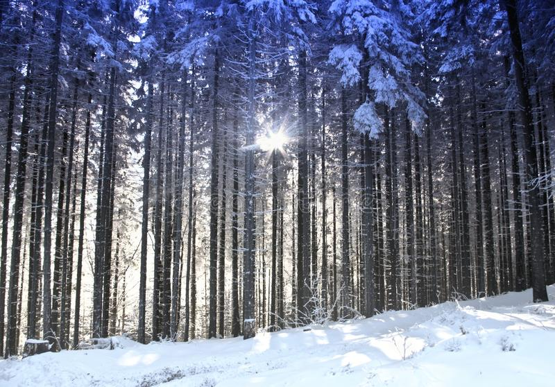 Trees and sun in the winter forest stock photos