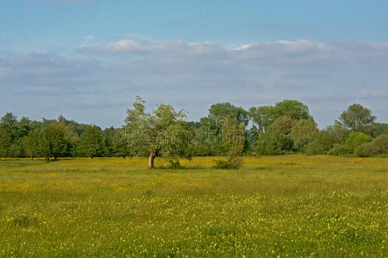 Trees in a sunny meadow with many yellow wildflowers royalty free stock photography