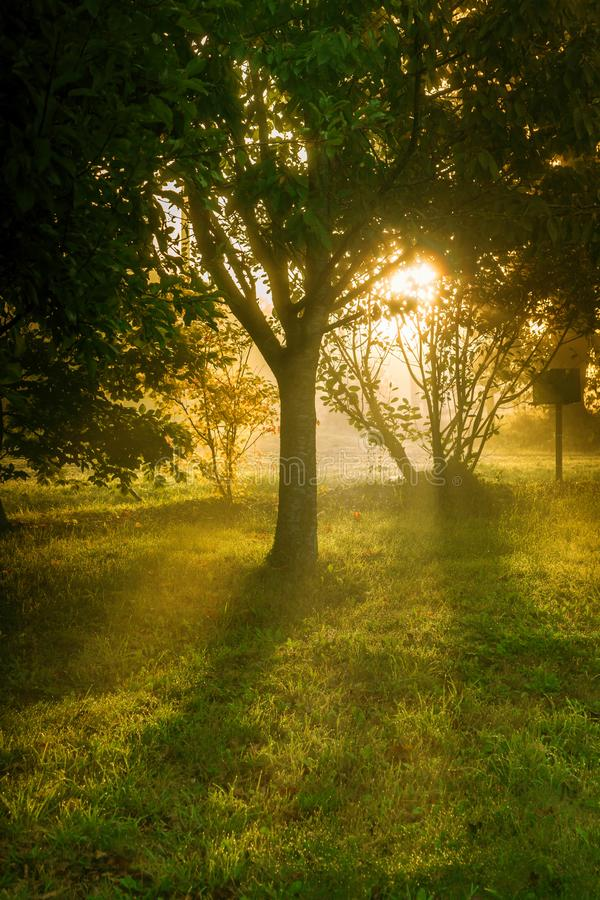 Trees at sunrise. Sunrise through the trees on a misty morning stock image