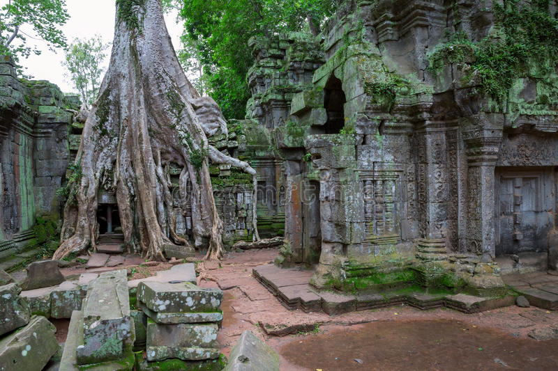 Download Trees In Ta Prohm, Angkor Wat Royalty Free Stock Image - Image: 26942316