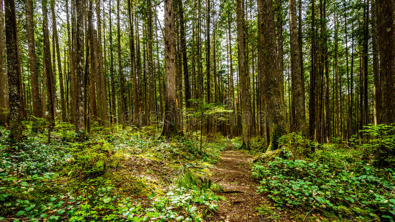 Trees in the temperate rain forest of Rolley Lake Provincial Park stock images