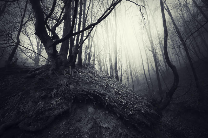 Trees with twisted roots in haunted forest. With fog stock photos