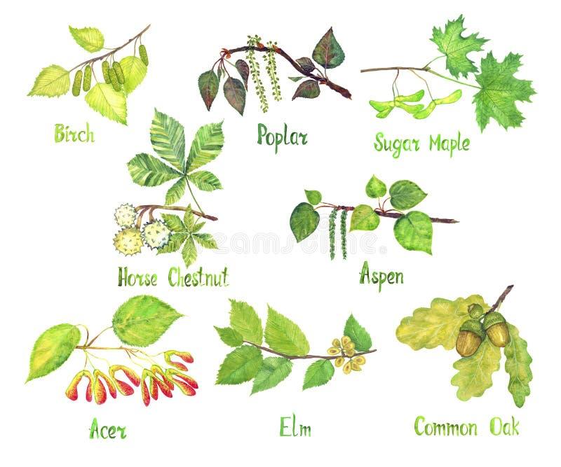 Trees variety set, Birch, Poplar, Sugar Maple, Horse chestnut, Aspen, Acer, Elm, Common oak leaves and seeds conkers, acorns stock illustration