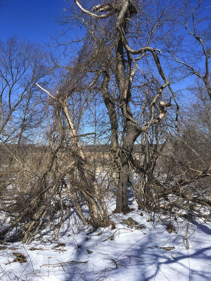 IMG_3899 Minuteman Bikeway. Trees and vines in winter stock photos