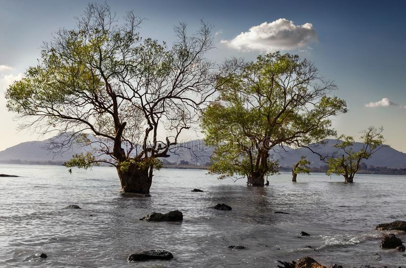 Trees in the water. During the sea tide stock photography