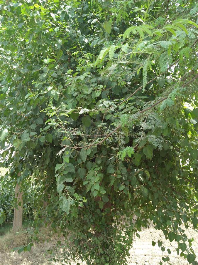 TREE PLANTED ALONG SIDE THE ROAD COMMON NAME IS SHEHTOOT stock photography