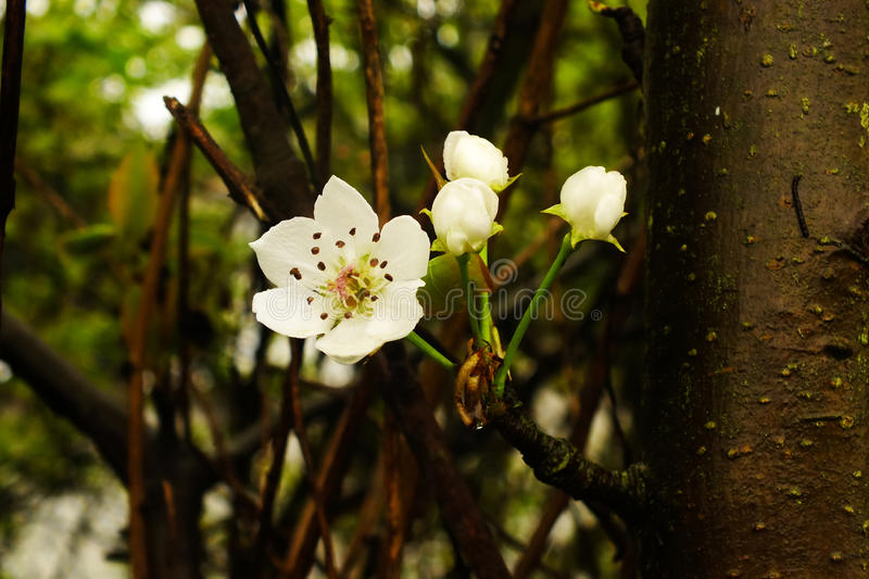 The trees of white flowers stock image