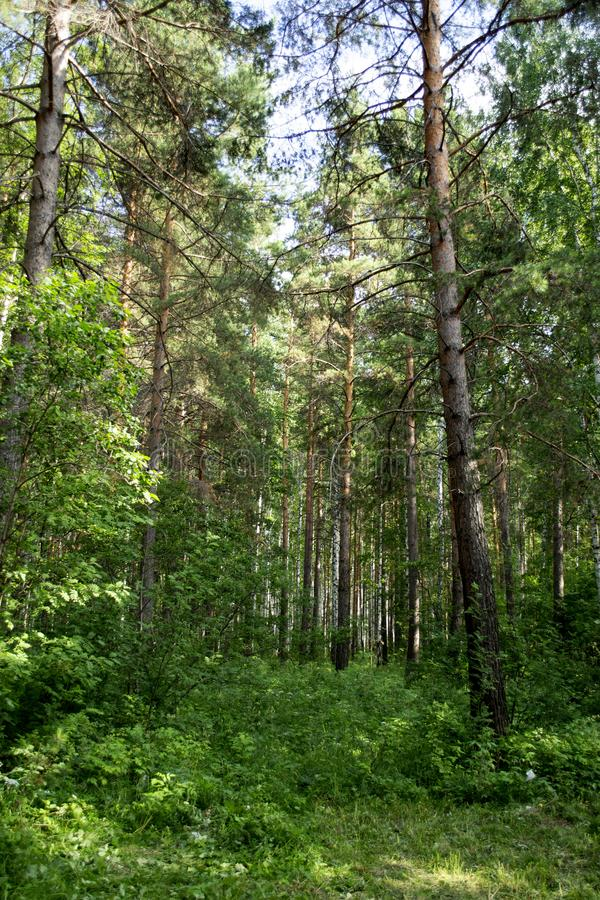 Trees in the wild pine ural forest. Sverdlovsk region, Russia stock photos