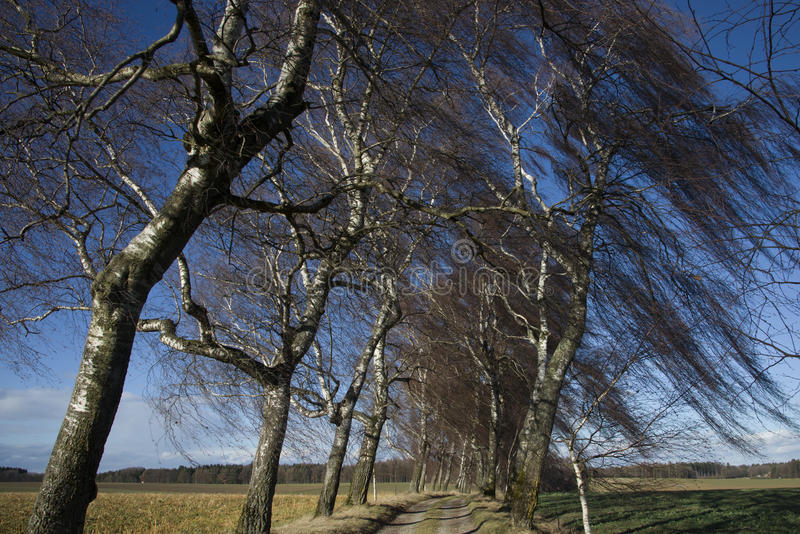Trees in wind. The wind whips the branches of a birch grove stock image