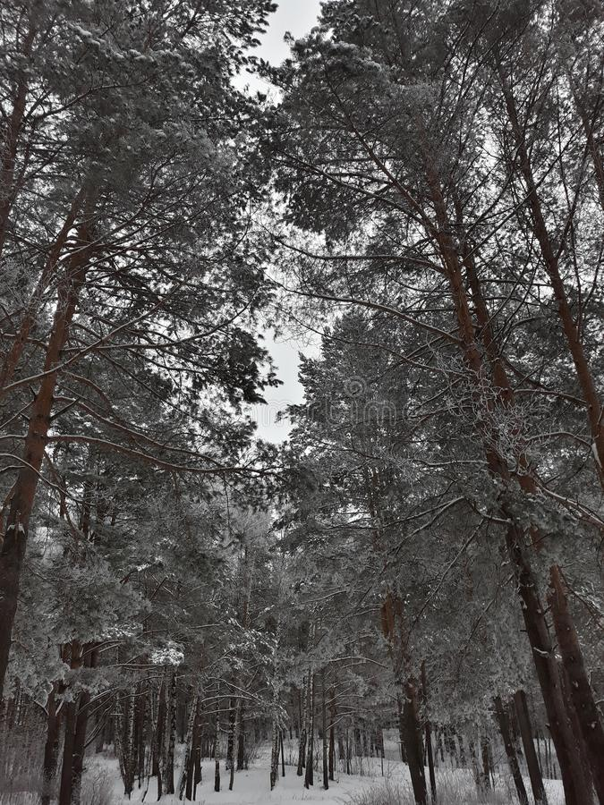 Trees in the winter forest royalty free stock image
