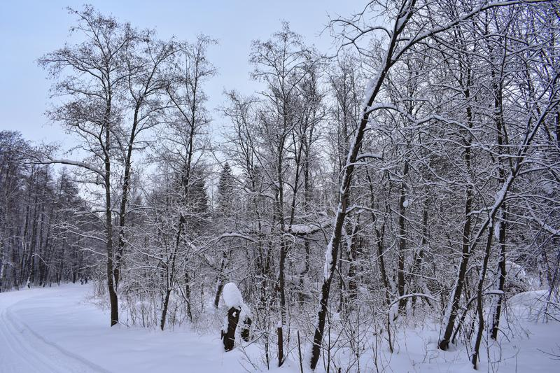 Trees in winter look especially fabulous after snowfall, when snowflakes stick to the branches and trunks stock photo