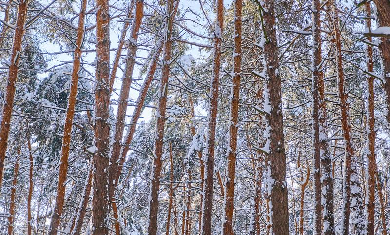 Trees in winter park. Pines covered with snow in a wood. Seasonal background. royalty free stock images