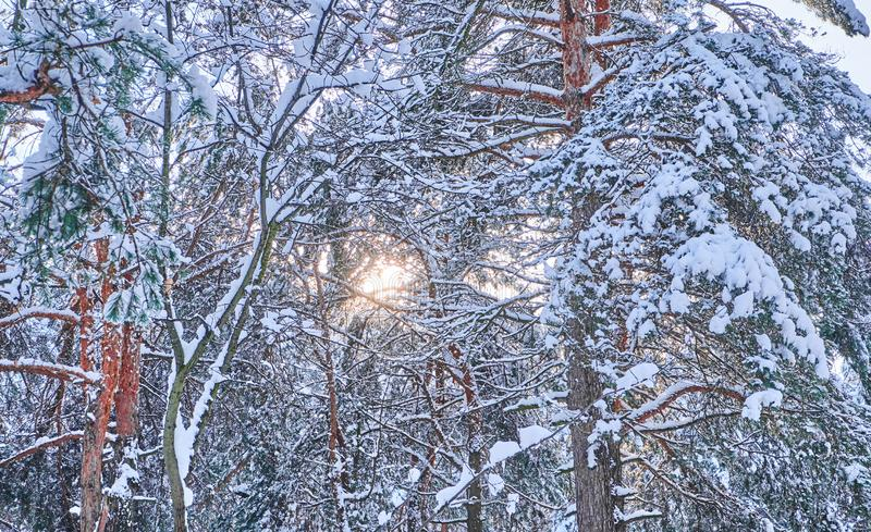 Trees in winter park. Pines covered with snow in a wood. Seasonal background. stock photos