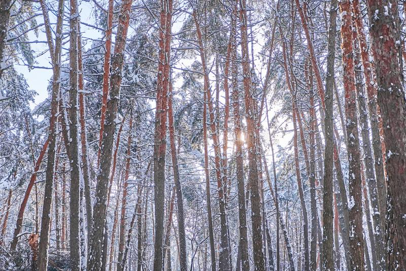 Trees in winter park. Pines covered with snow in a wood. Seasonal background. stock photo