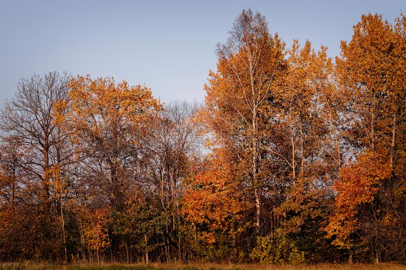 Trees and yellow autumn. Trees in the golden fall royalty free stock images