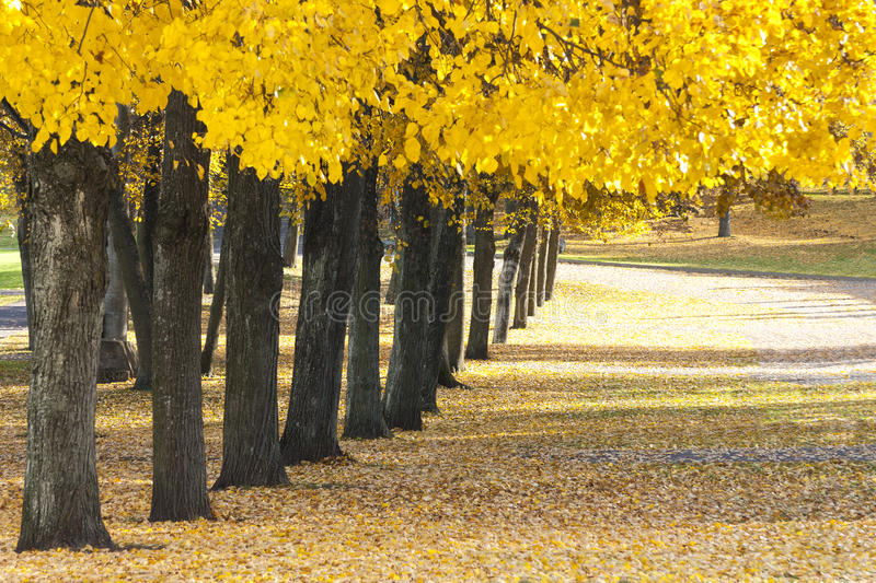 Trees with yellow leaves grow in row at autumn stock photography
