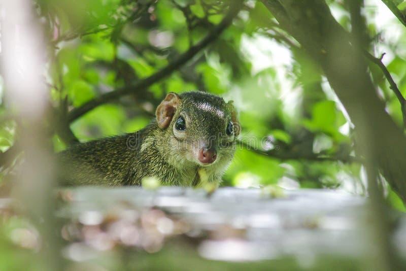 Treeshrew sous les buissons regardant pour faire attention photo stock