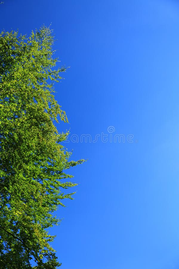 Treetop against blue sky. Natural background with copy space: green leafy treetop and cloudless blue sky royalty free stock photography