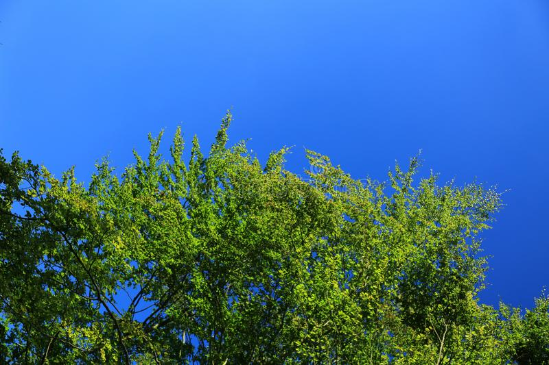Treetop against blue sky. Natural background with copy space: green leafy treetop and cloudless blue sky royalty free stock photo