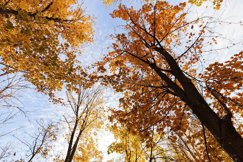 Treetop in autumn. Trees from the 'frog perspective' with the sky above, note shallow depth of field royalty free stock photography