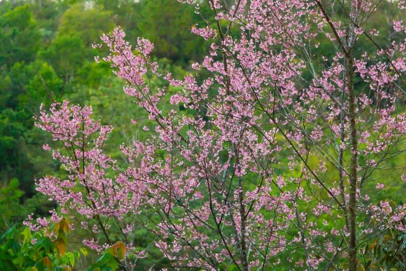 Treetop des wilden Himalajakirschbaums; Aquarellart stockfotografie