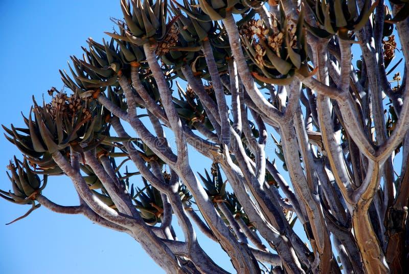 Treetop di un albero quiver o kokerboom in Namibia fotografie stock