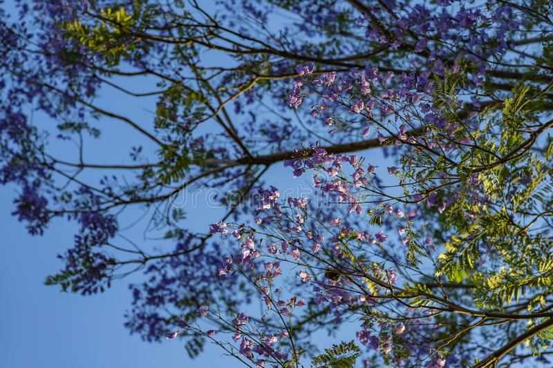 Beautiful bottom view of purple tree on sunny day with blue sky in the background. Treetop with purple flowers. Beautiful bottom view of purple tree on sunny stock image