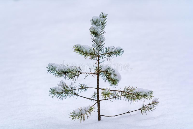 Treetop spruce over snow. Heavy snowfall, poor visibility and winter weather conditions. Little pine tree, copy space royalty free stock image
