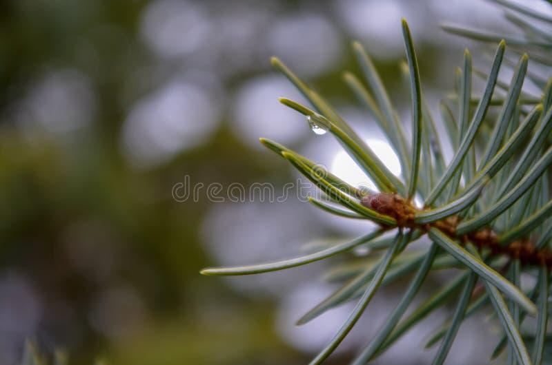 Treetop van de pijnboom (lucht) 2778 stock foto's