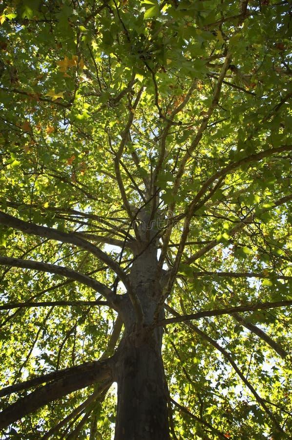Treetop van de sycomoor stock foto's