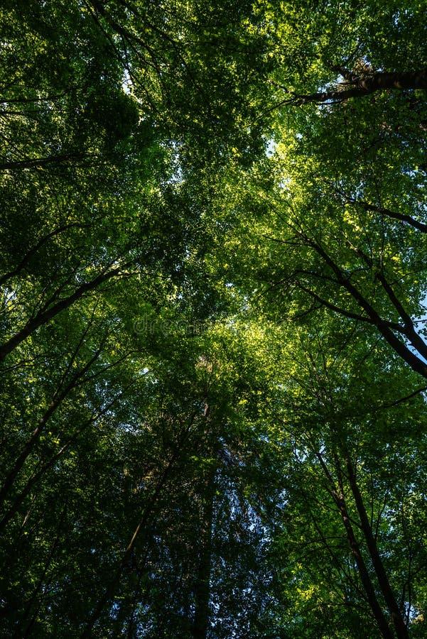 Treetops από κάτω από στο φως του ήλιου, Velbert στοκ εικόνα
