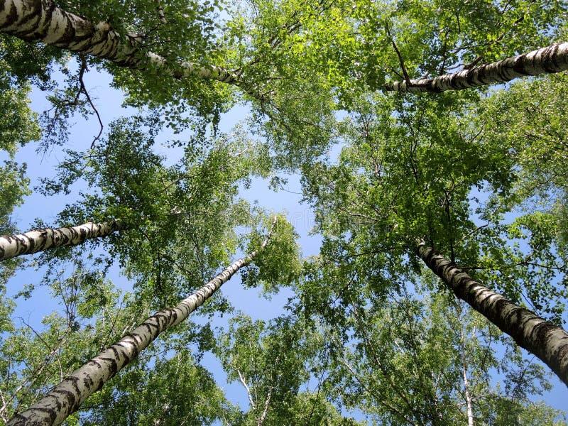 Treetops στο μπλε ουρανό στοκ φωτογραφίες με δικαίωμα ελεύθερης χρήσης