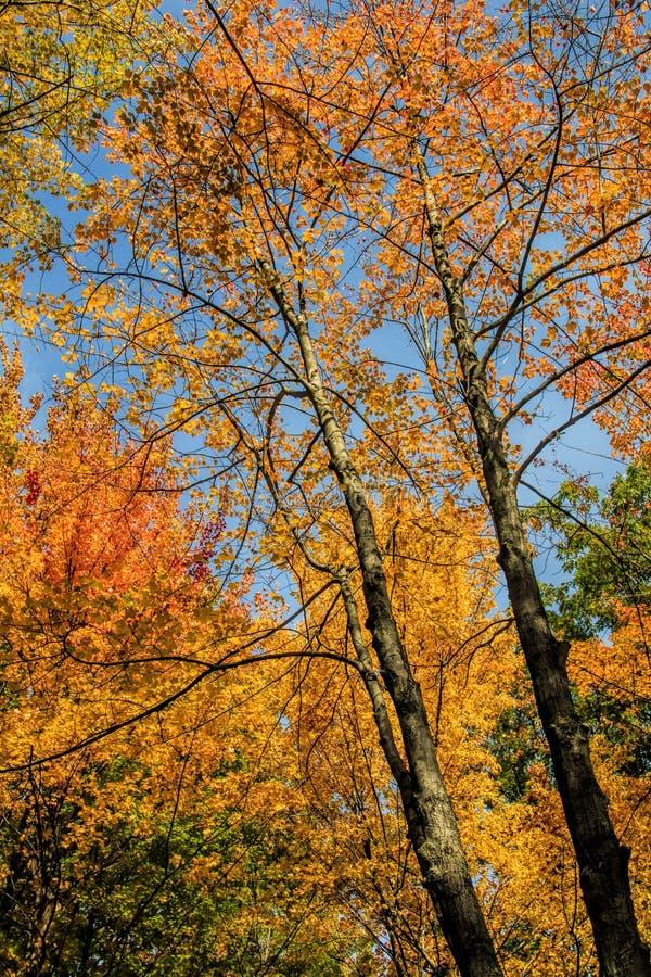 Treetops клена осени стоковые фото