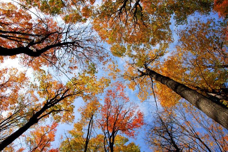 Treetops royalty free stock image