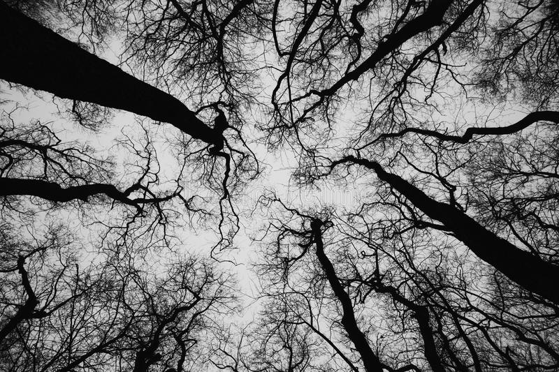 Treetops of Common alder, picture in black and white. Treetops black and white, silhouette against the sky, from an alder forest next to the estuary in royalty free stock image