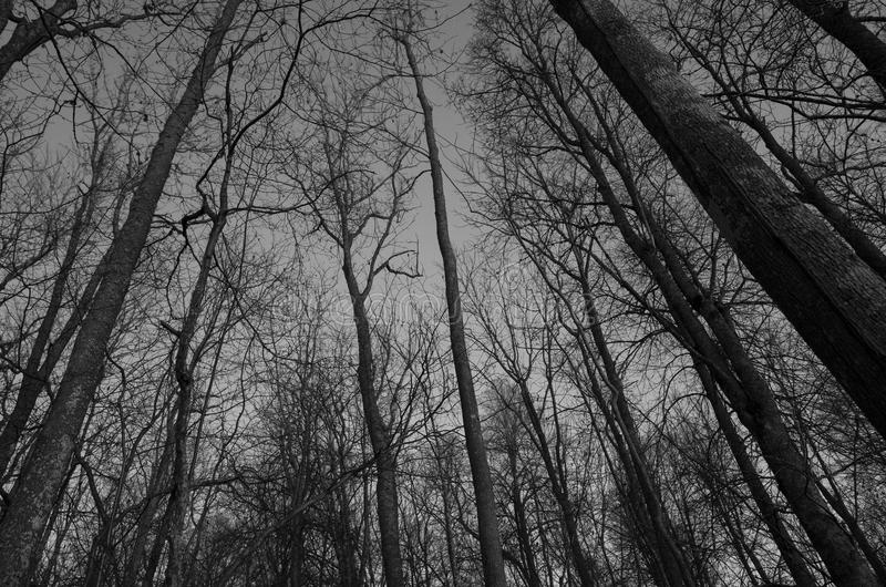 Treetops at evening in forest in Sweden. Europe Scandinavia. Beautiful black and white photo at night in the woods. Calm, peaceful and poetic monochrome photo stock images