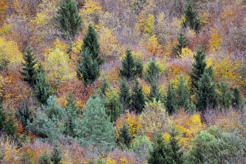 Treetops in a forest in autumn. In the autumn, the mixed forests stained in various shades from gold to green. When the nights are getting colder and shorter day stock images