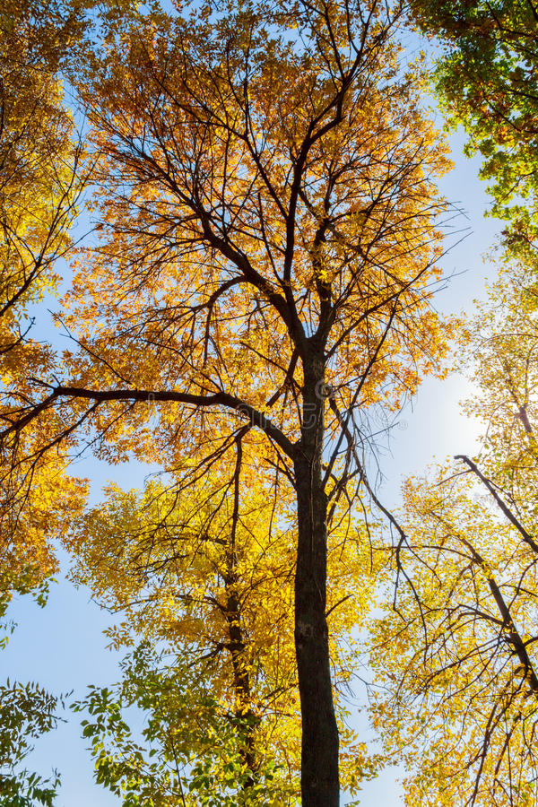 Treetops in the golden autumn royalty free stock photo