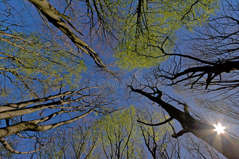 Treetops with spring leafs and sun. Tree tops with young bright green spring leafs and sun on a crystal clear blue sky, view from below stock photo