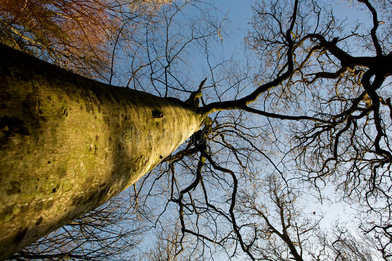 Treetops. Underneath treetops looking up to blue skies through bare branches royalty free stock images
